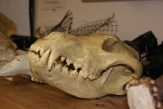 This is a wolf skull. Notice the big canines, perfect for ripping meat apart.
