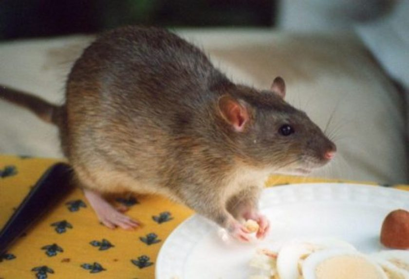 how long do rats live