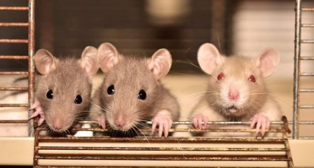 A Complete Guide To Take Care Of Pet Rats 2021