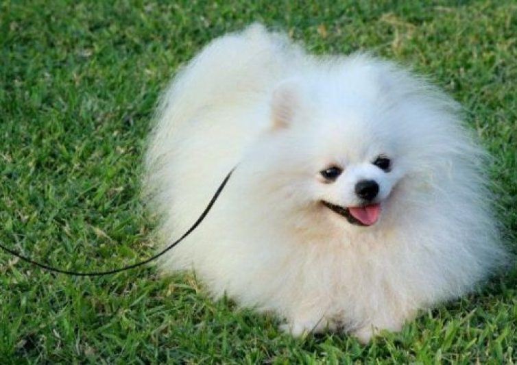Best Complete Guide Pomeranian Puppy Care 2021