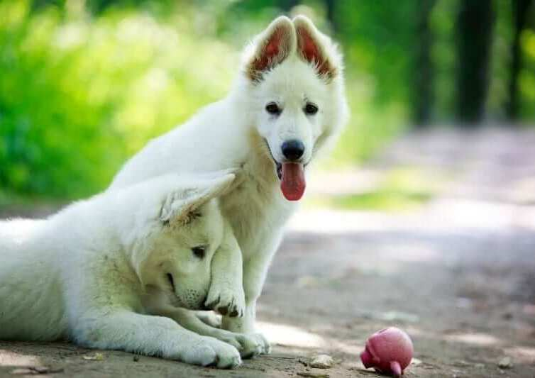 A Complete Guide For White German Shepherd 2021
