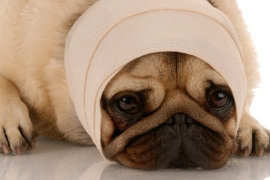 Why Pugs are the Worst Breed