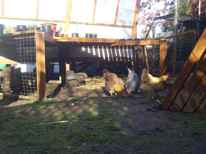 pictures of chickens pecking