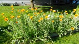 picture of orange flowers