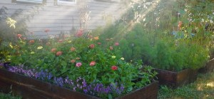 picture of Zinnia bed