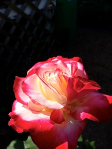 picture of Double Delight rose