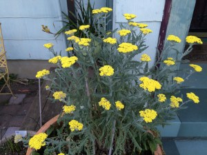 picture of Yarrow