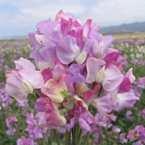 picture of Sweet Peas