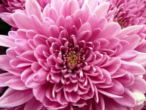 picture of pinkchrysanthemum