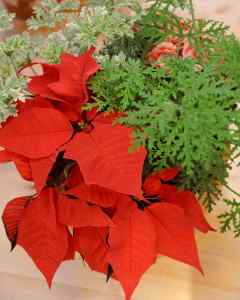 picture of Poinsettia bracts in fresh flower arrangement.