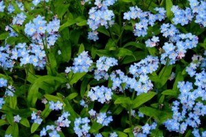 picture of forget me nots