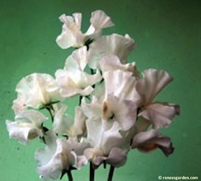picture or Royal Wedding Sweet Pea