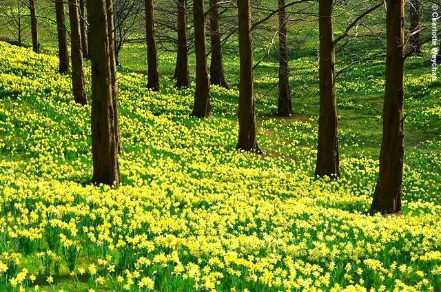 daffodills in landscape credit Charlotte Weychan