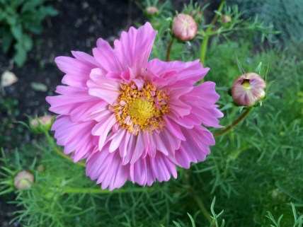 picture of the flower Cosmos