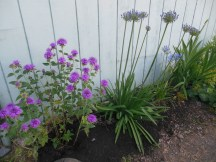 Beebalm and Giant Alliums