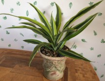 Dracaenea in weathered pot $$25