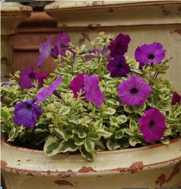 Petunia Glamouflage Grape - image courtesy of hortcouture.com