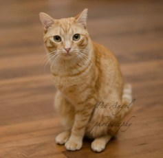 Three legged cat Enrique was adopted from Santa Fe animal shelter