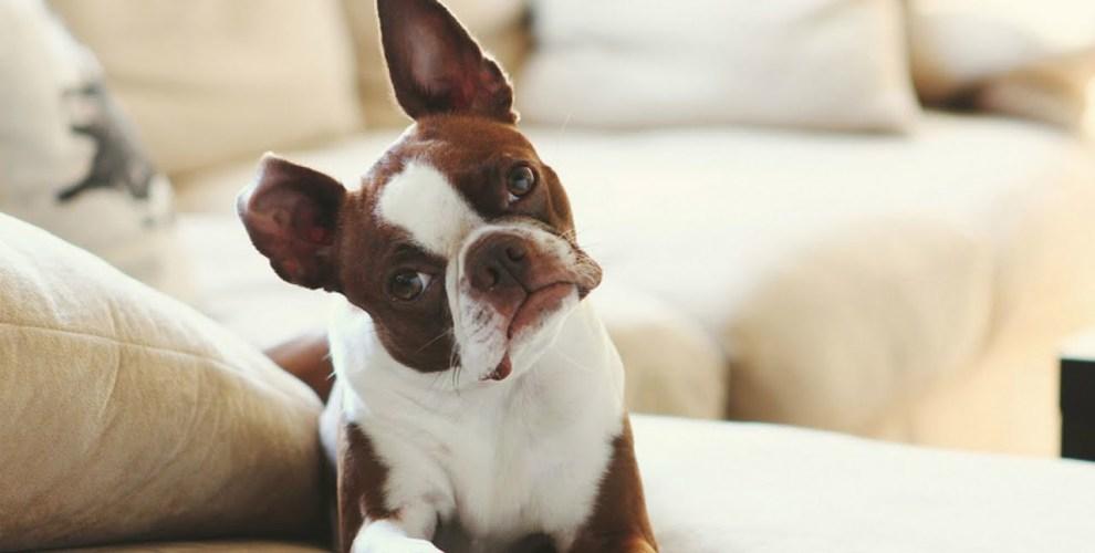 Raças de Cachorro para Apartamento - Pet Anjo