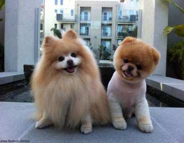 melhores raças de cachorro para apartamento
