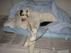 A Lipidose Hepática é uma das piores doenças que atacam os gatos!