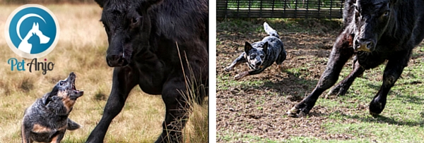 Boiadeiro Australiano pastoreando gado