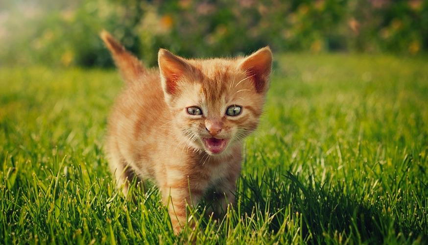 o que fazer com gato que não para de miar