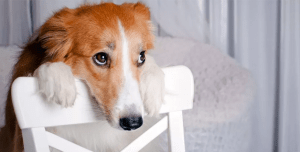 cachorro-cara-de-culpa