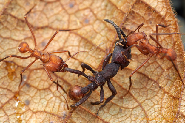 Intense Macro Photos of Ants Battling to the Death Nomamyrmex2 L copy
