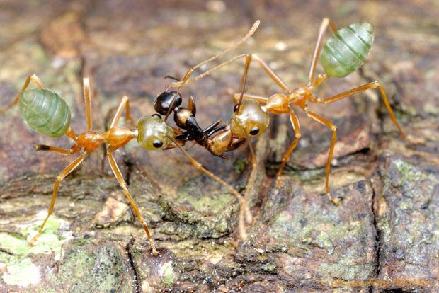 Intense Macro Photos of Ants Battling to the Death Oecophylla12j L copy