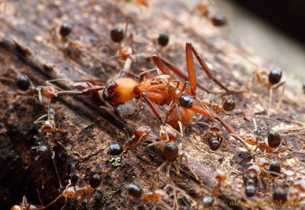 Intense Macro Photos of Ants Battling to the Death hamatum10 L copy