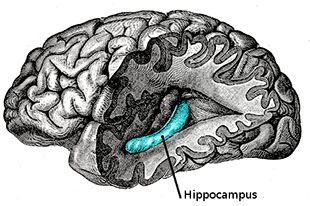 Memories, Photographs, and the Human Brain hippo