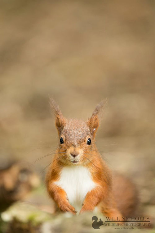 Photographing the Endangered European Red Squirrel 1052659 520816661307336 647933376 o