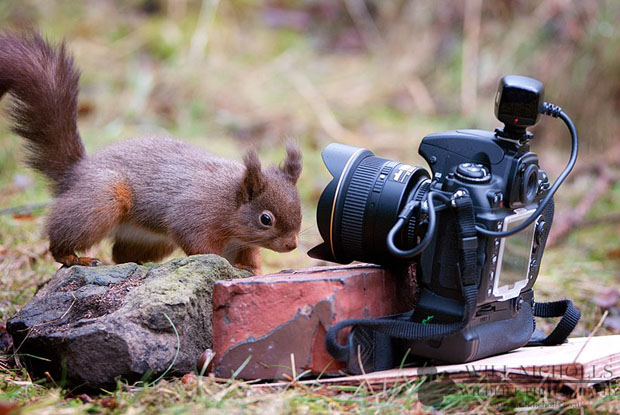 Photographing the Endangered European Red Squirrel 424452 313949108660760 917043963 n