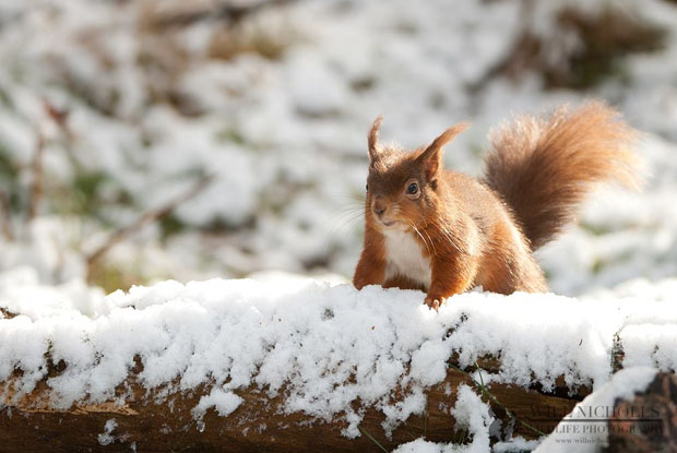 Photographing the Endangered European Red Squirrel 476439 328930183829319 2052838352 o