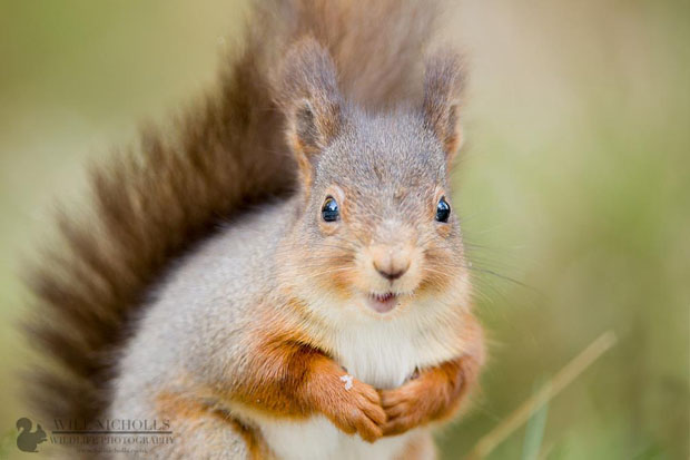 Photographing the Endangered European Red Squirrel 737292 446749688714034 854726300 o