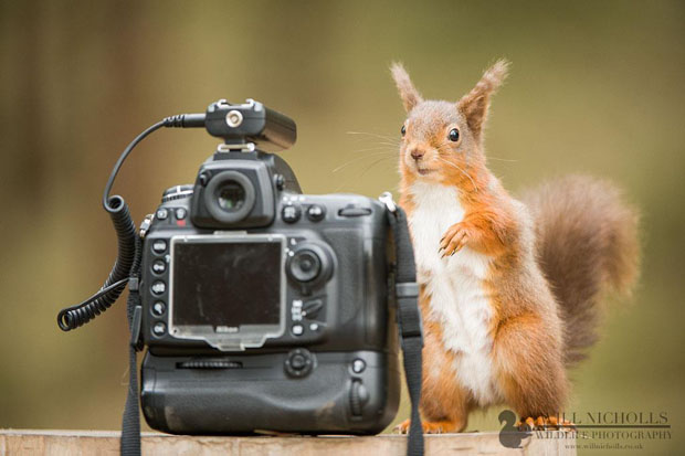 Photographing the Endangered European Red Squirrel 902078 490184214370581 2045879679 o