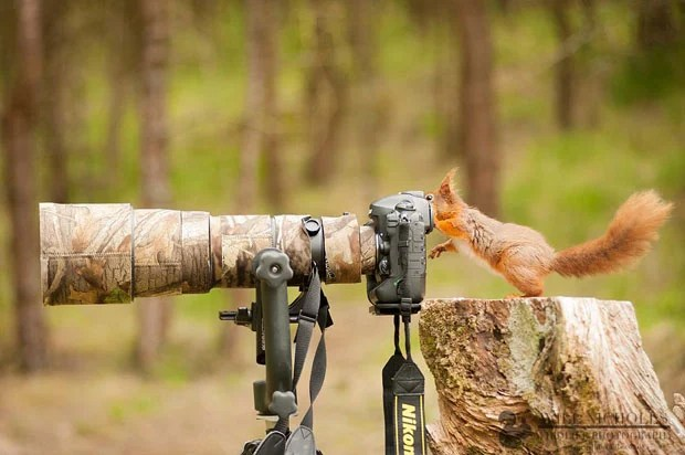 Photographing the Endangered European Red Squirrel 979984 510096525712683 554248874 o