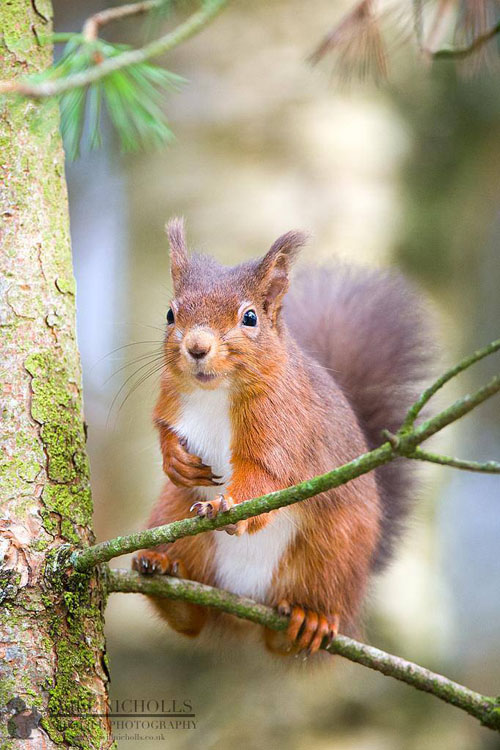 Photographing the Endangered European Red Squirrel 980128 504503059605363 1529623539 o