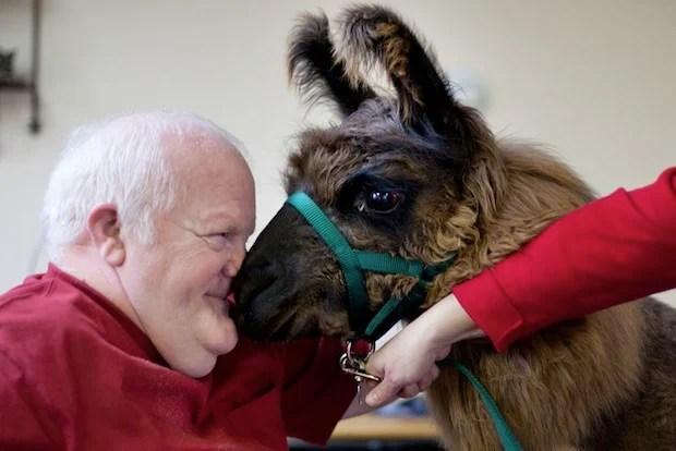 Heartwarming Photos of Therapy Llamas Interacting with Patients at a Hospital llamalove4