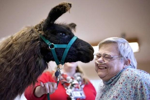Heartwarming Photos of Therapy Llamas Interacting with Patients at a Hospital llamalove6