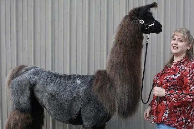 Heartwarming Photos of Therapy Llamas Interacting with Patients at a Hospital llamalove9