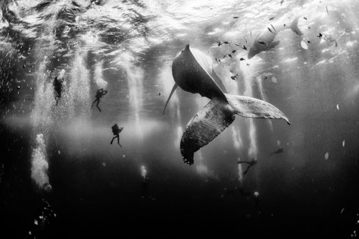 Photo and caption by Anuar Patjane Floriuk/National Geographic Traveler Photo Contest. Diving with a humpback whale and her newborn calf while they cruise around Roca Partida ... in the Revillagigedo [Islands], Mexico. This is an outstanding and unique place full of pelagic life, so we need to accelerate the incorporation of the islands into UNESCO as [a] natural heritage site in order to increase the protection of the islands against the prevailing illegal fishing corporations and big-game fishing.