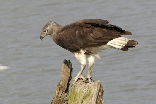 The grey-headed fish eagle is critically endangered in Singapore.