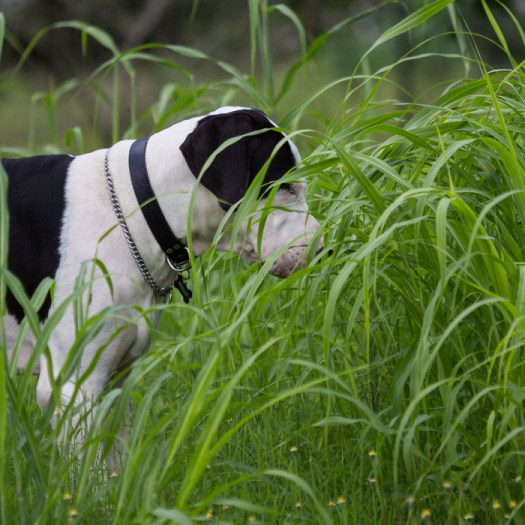 """Danes love to play in tall grass. It makes them feel small again."""