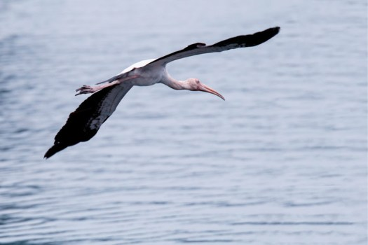 Another Milky Stork shot in flight. Not bad - it's not pin sharp on the face but I'll admit my tracking technique isn't always perfect.