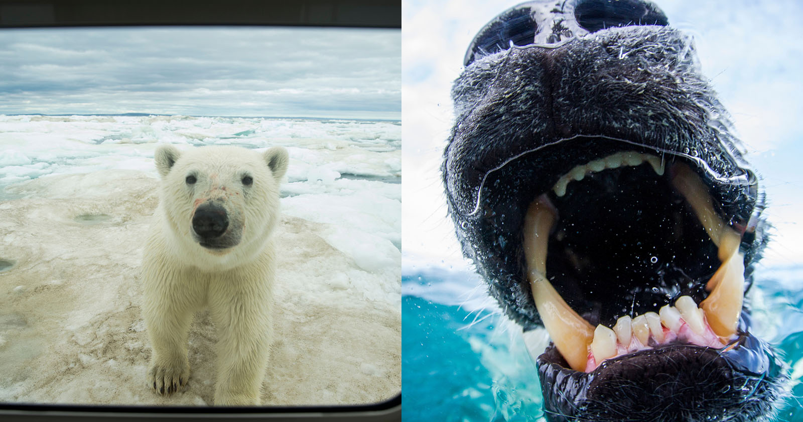 My Quest For The Perfect Polar Bear Picture