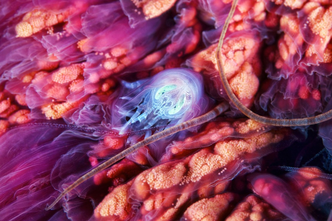 Hyperia galba inside Cyanea