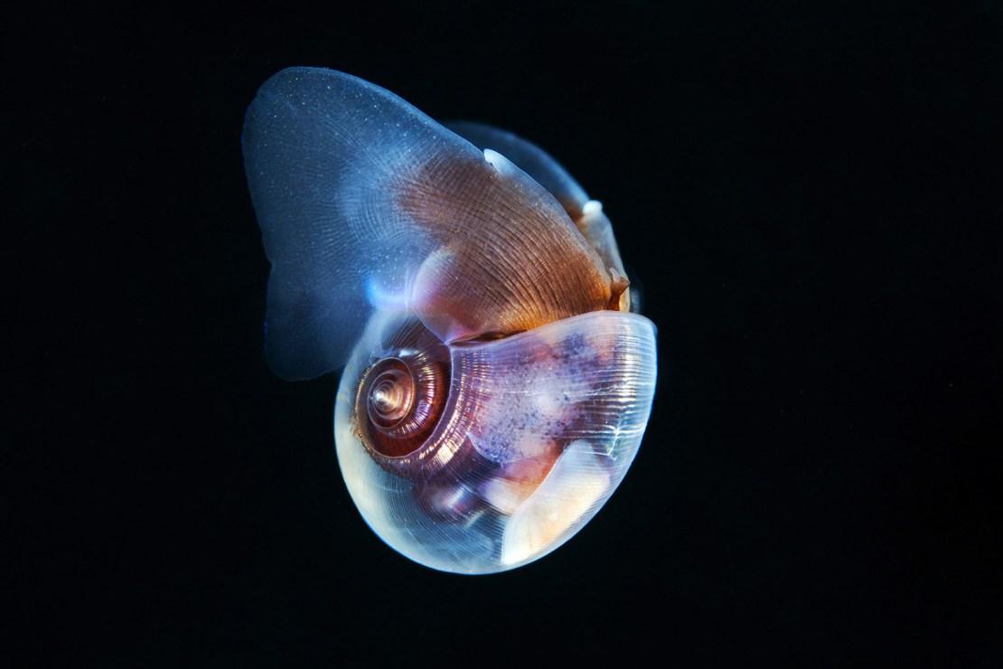 Pteropoda sea butterfly