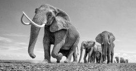 Il fotografo scatta foto artistiche dei maestosi elefanti africani